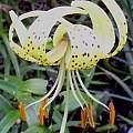 Lilium lancifolium v. flaviflorum, Darm Crook