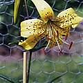 Lilium lancifolium flaviflorum, Göte Svanholm