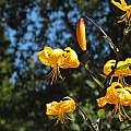 Lilium leichtlinii, UC Botanical Garden, Nhu Nguyen