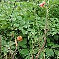 Lilium leichtlinii, UC Botanical Garden