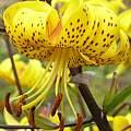 Lilium leichtlinii, Darm Crook