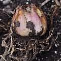 Lilium lijiangense bulb, Pontus Wallstén