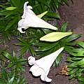 Lilium longiflorum, Darm Crook