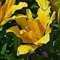Lilium maculatum v. davuricum, Darm Crook