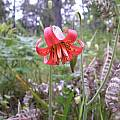 Lilium maritimum, Bob Rutemoeller [Shift+click to enlarge, Click to go to wiki entry]
