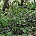 Lilium martagon, Janos Agoston