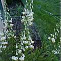 Lilium martagon v. album tall form, Darm Crook