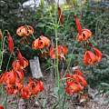Lilium michiganense, Darm Crook