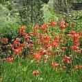 Lilium pardalinum, UC Botanical Garden, Nhu Nguyen