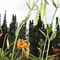 Lilium pardalinum, Darm Crook