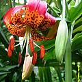Lilium pardalinum, Jamie Vande