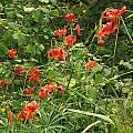 Lilium pardalinum ssp. pitkinense, Nhu Nguyen