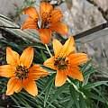Lilium philadelphicum v. andinum, Darm Crook
