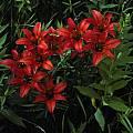 Lilium philadelphicum, Ron Parsons
