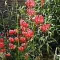 Lilium pumilum, Bob Rutemoeller