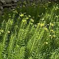 Lilium pyrenaicum, Roger Darlington