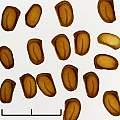 Lilium regale seed, David Pilling