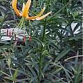 Lilium rosthornii, Darm Crook