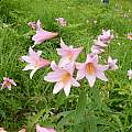 Lilium rubellum, Mari Kitama