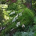 Lilium sargentiae, Nhu Nguyen