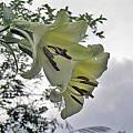 Lilium sargentiae, David Victor