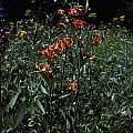 Lilium pardalinum ssp. shastense, Ron Parsons