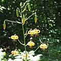 Lilium pardalinum ssp. shastense, Rimmer de Vries
