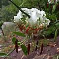 Lilium speciosum var. gloriosoides, John Lonsdale