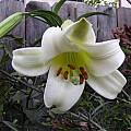 Lilium sulphureum, Lee Poulsen