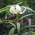 Lilium taliense, Denis Barthel