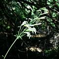 Lilium washingtonianum, John Longanecker