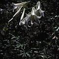Lilium washingtonianum, Ron Parsons