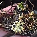 Lilium wigginsii bulb, Pontus Wallstén
