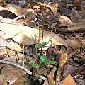 Listera australis, Alani Davis