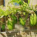 Gloriosa modesta fruit, Rob Hamilton