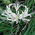 Lycoris hybrid, John Ingram