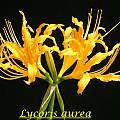Lycoris aurea, Bill Dijk