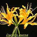 Lycoris aurea, Bill Dijk
