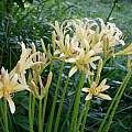 Lycoris caldwellii,Jim Waddick