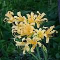 Lycoris chinensis, Jim Waddick