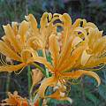 Orange flowered form of Lycoris chinensis, Jim Murrain