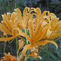 Orange flowered form of Lycoris chinensis, Jim Murrain
