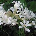 Lycoris hybrid, Jim Murrain