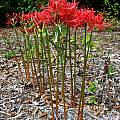 Lycoris radiata var. radiata, Jay Yourch