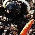 Lycoris sprengeri seed, M. Gastil-Buhl