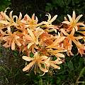 Tangerine colored Lycoris hybrid, Jim Waddick