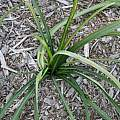 Lycoris traubii foliage, Tony Avent