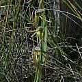 Lyperanthus serratus, Albany, Mary Sue Ittner