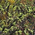 Macropidia fuliginosa, Mary Sue Ittner