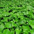 Maianthemum dilatatum, Oregon, Mary Sue Ittner